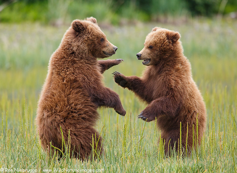 Brown Bear cubs playing, Lake Clark National Park, Alaska.