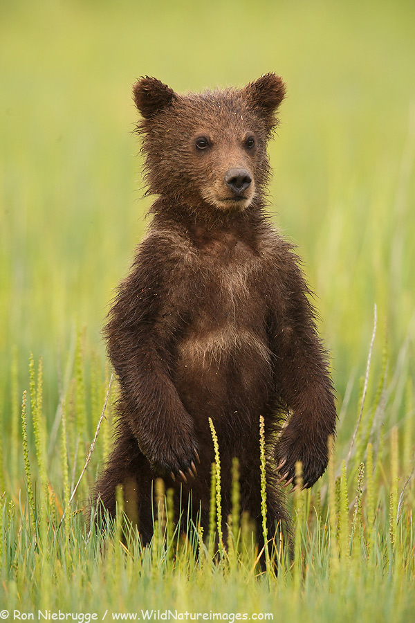 First summer bear cub, Lake Clark National Park, Alaska.