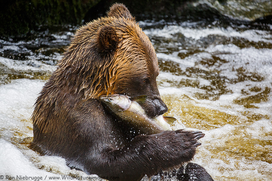 Brown Bear fishing at Anan Creek Wildlife Viewing Site, Tongass National Forest, Alaska.