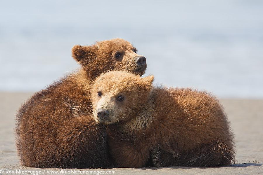 First summer brown bear cubs, Lake Clark National Park, Alaska.