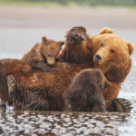 Nursing Brown Bears
