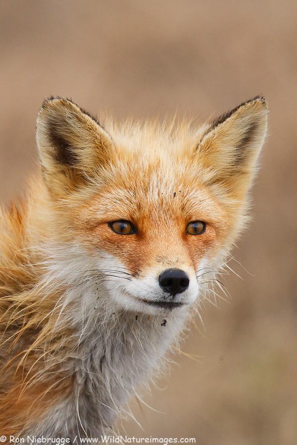 Red fox, Arctic Slope of Alaska.