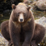 Baranof Brown Bear