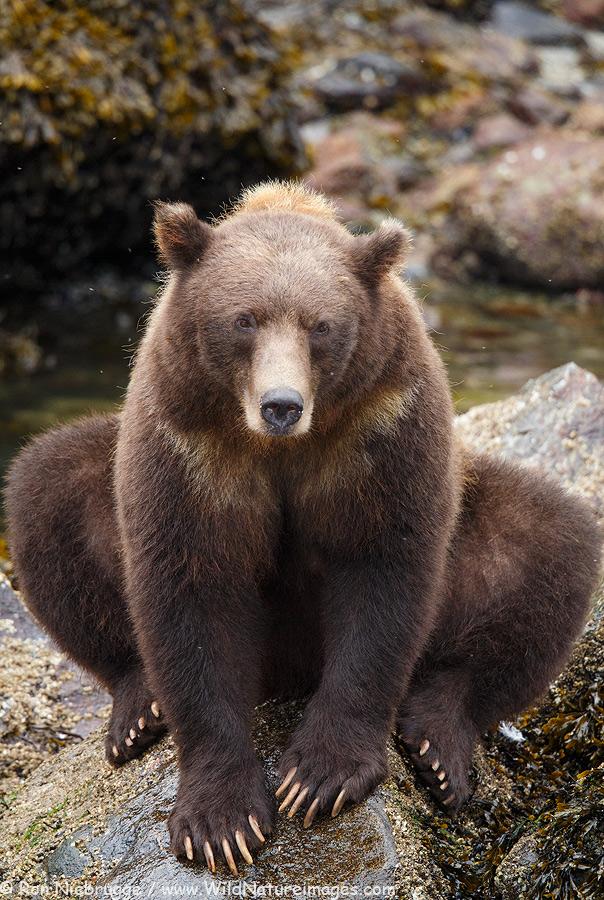 Brown Bear, Baranof Island, Alaska.