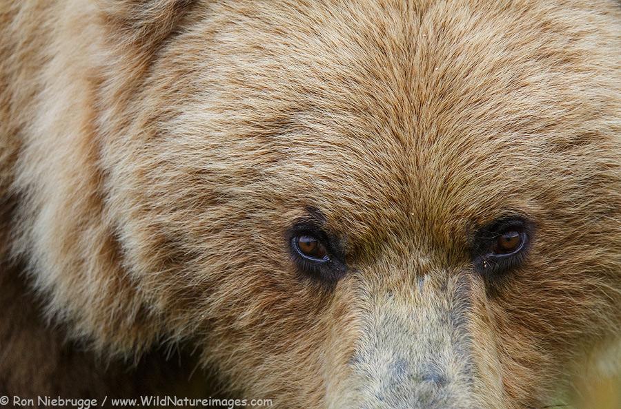 Brown bear up close!