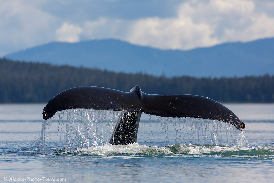 Humpback whale, Frederick Sound, Tongass National Forest, Alaska.