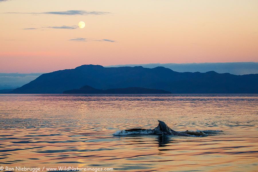 A humpback lunge feeding, Frederick Sound, Alaska.