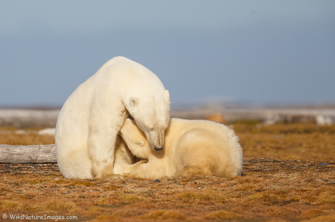 A polar bear nursing its cub, Alaska Arctic.