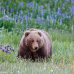 Brown Bear Wildflowers