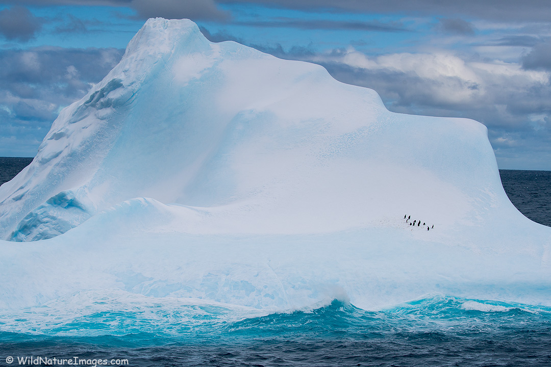 Chinstrap penguins on a large iceberg, Cooper Bay, South Georgia, Antarctica.
