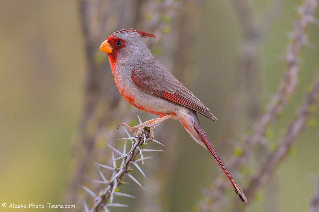Pyrrhuloxia, Tortolita Mountains near Tucson,, Arizona.