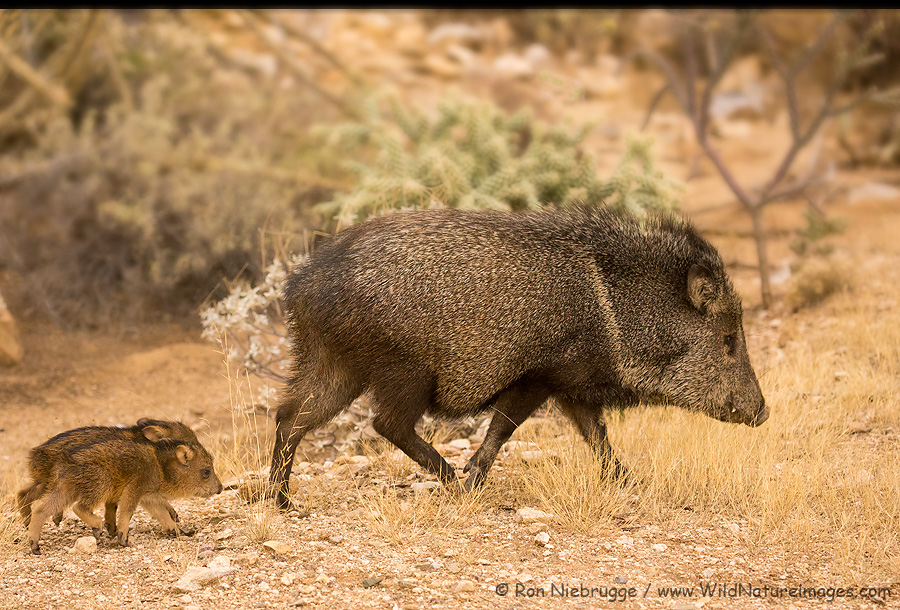 Javelina family, Tortolita Mountains, near Tucson, Arizona.