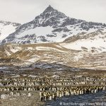 Molting King Penguins