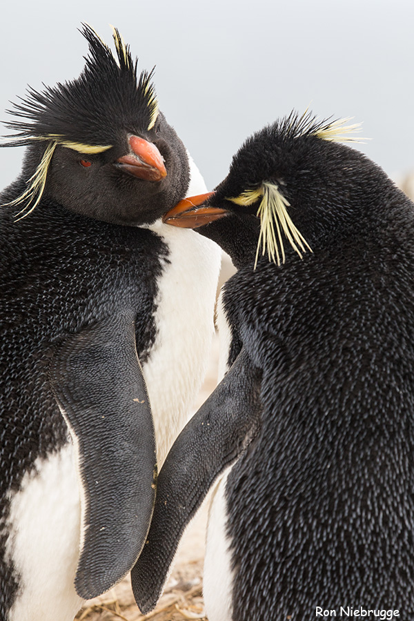 Rockhopper penguin, Sea Lion Island, Falklands.