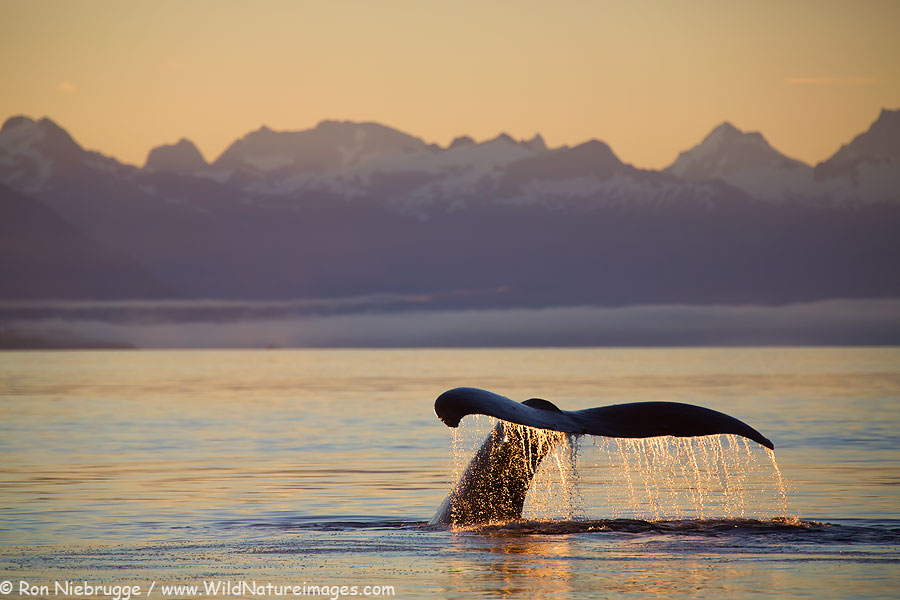 Humpback whale tail at sunrise, Tongass National Forest, Alaska.