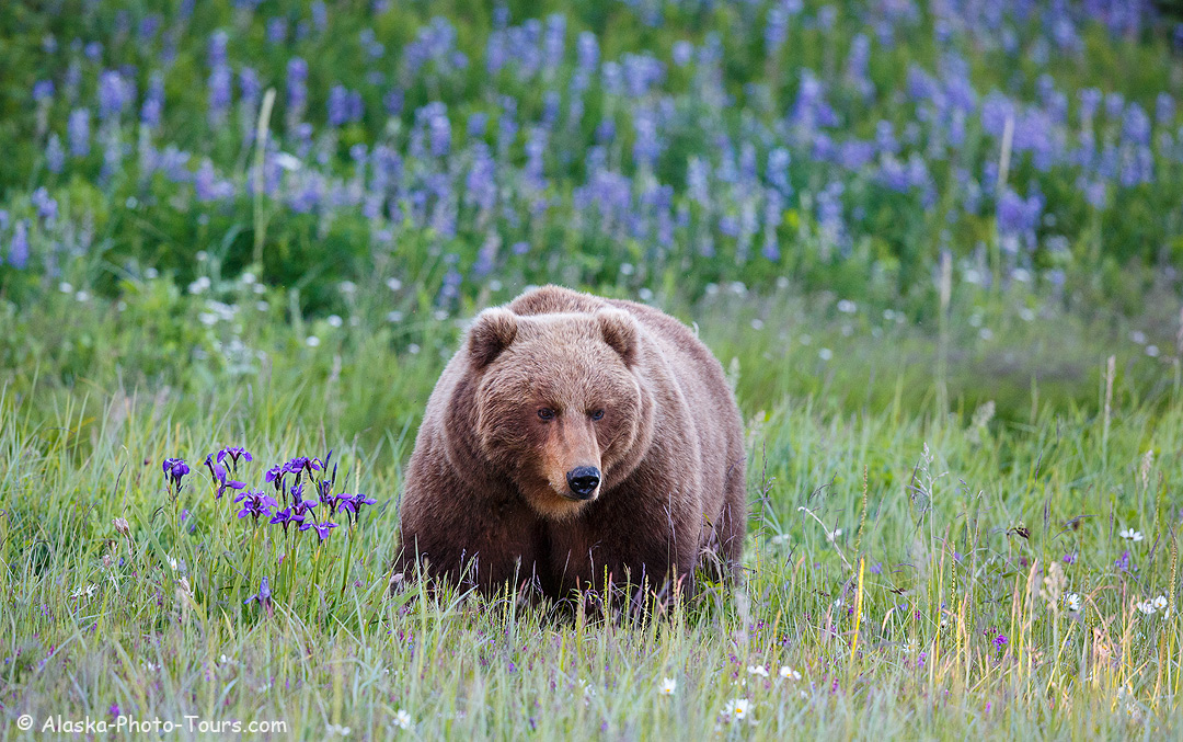 Alaska brown bear in wildflowers.