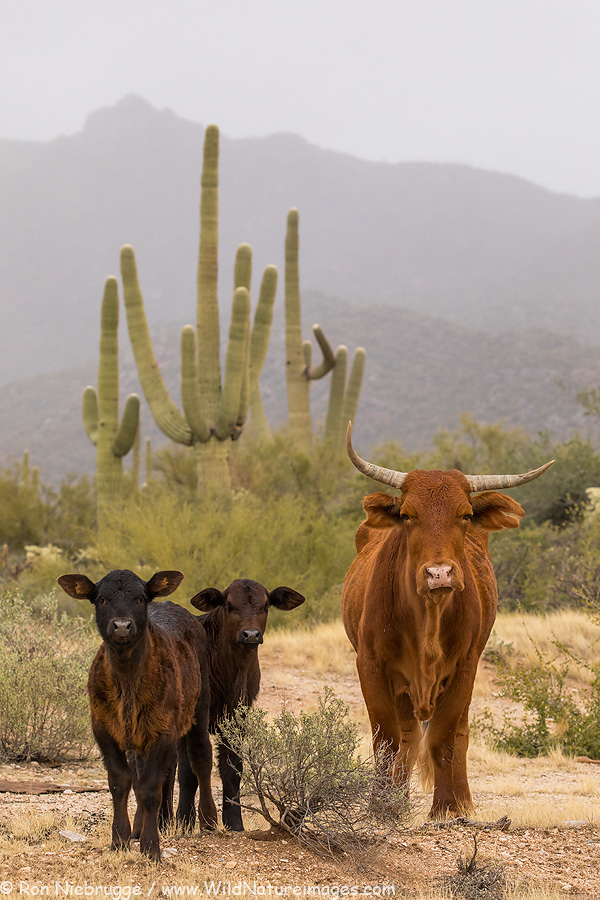 Cows, Tortolita Mountains, Tucson, Arizona.