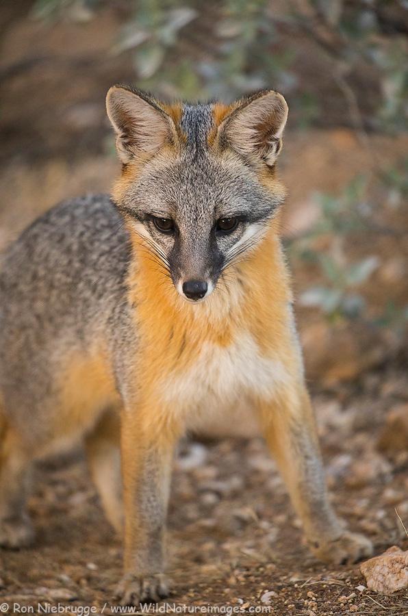 Gray Fox, Tortolita Mountains, Tucson, Arizona.
