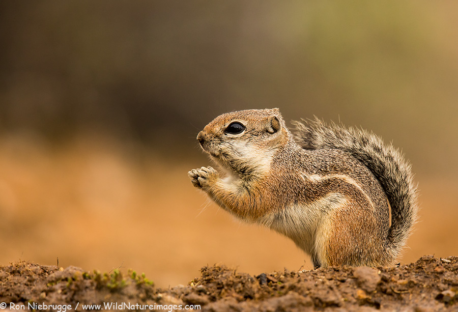 Harris antelope squirrel.