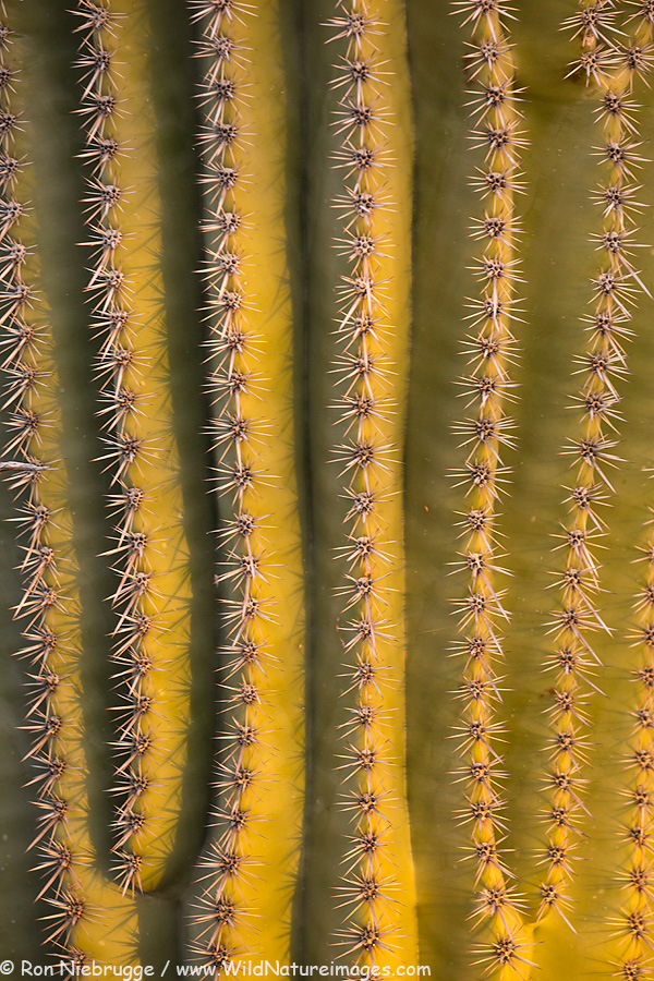 Saguaro cactus, near Tucson, Arizona.