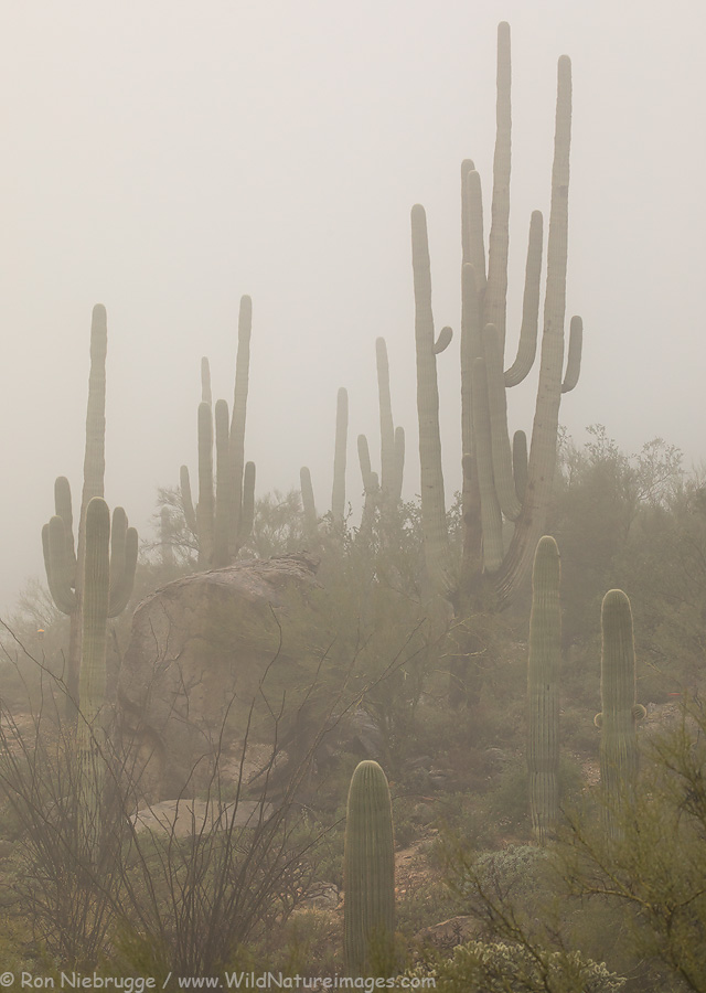 Saguaro in the fog, Tortolita Mountains, Arizona.