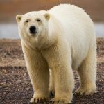 Alaska Polar Bear Photography Tour