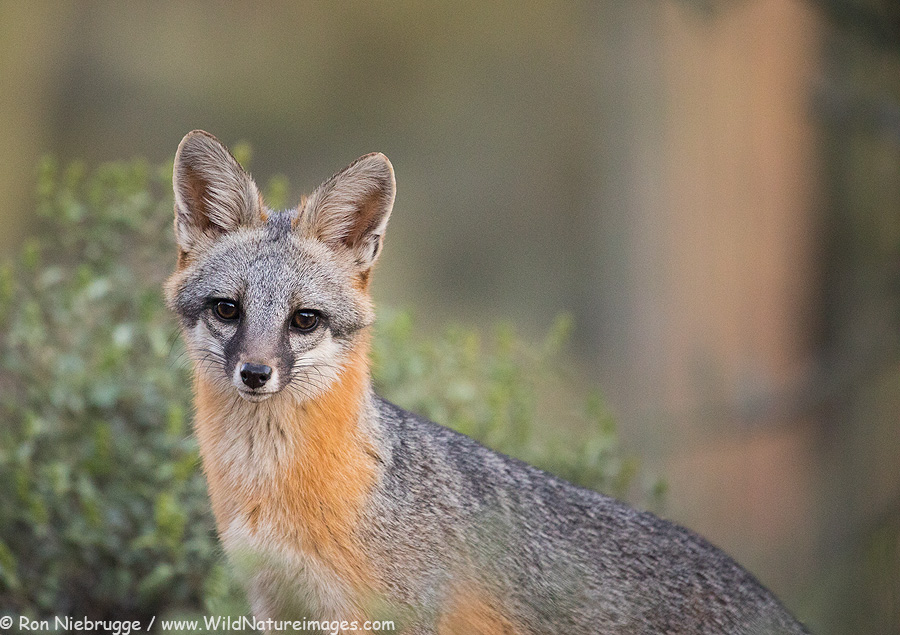 A gray fox photographed from the blind last evening.