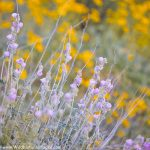 Tortolita Wildflowers