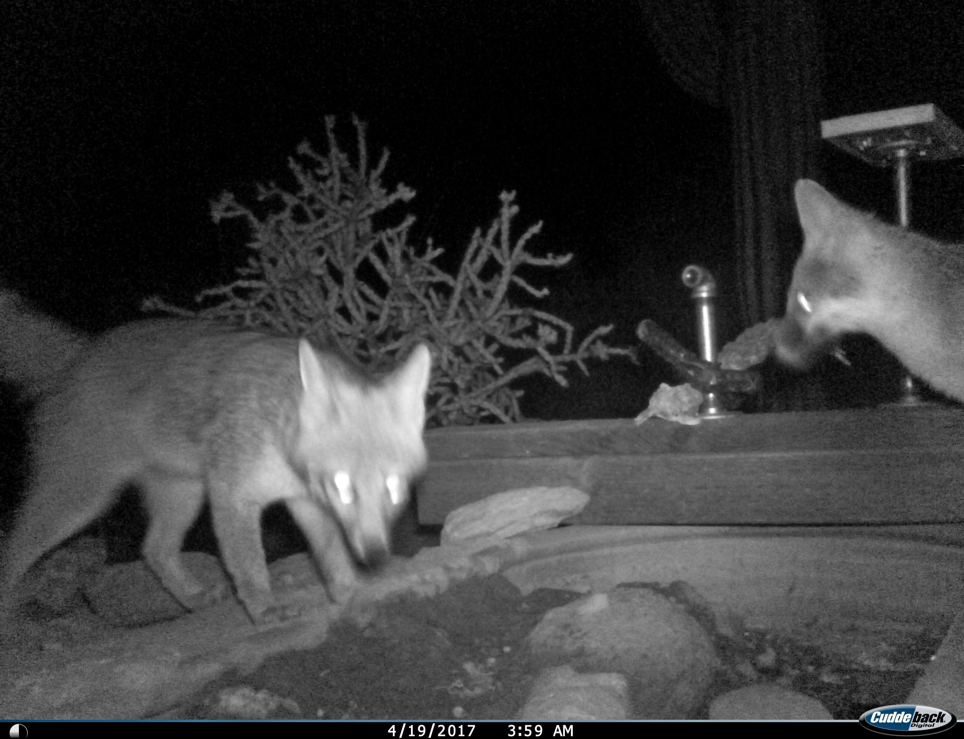 Two gray-fox in the game cam.
