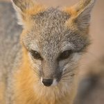Gray Fox Close-up