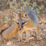 Gray Fox?