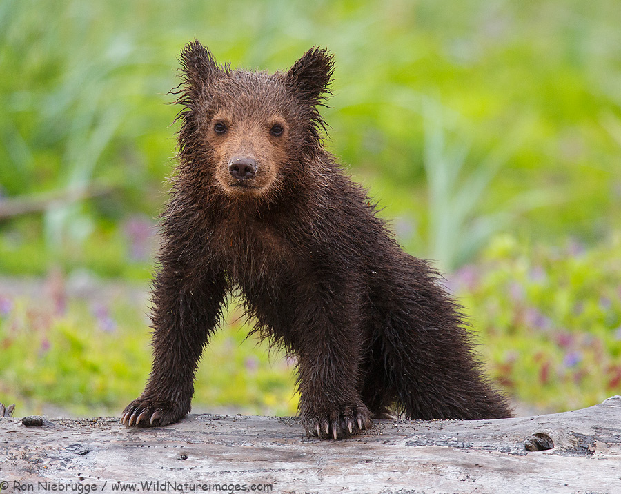 Brown / Grizzly Bear cub, Lake Clark National Park, Alaska.