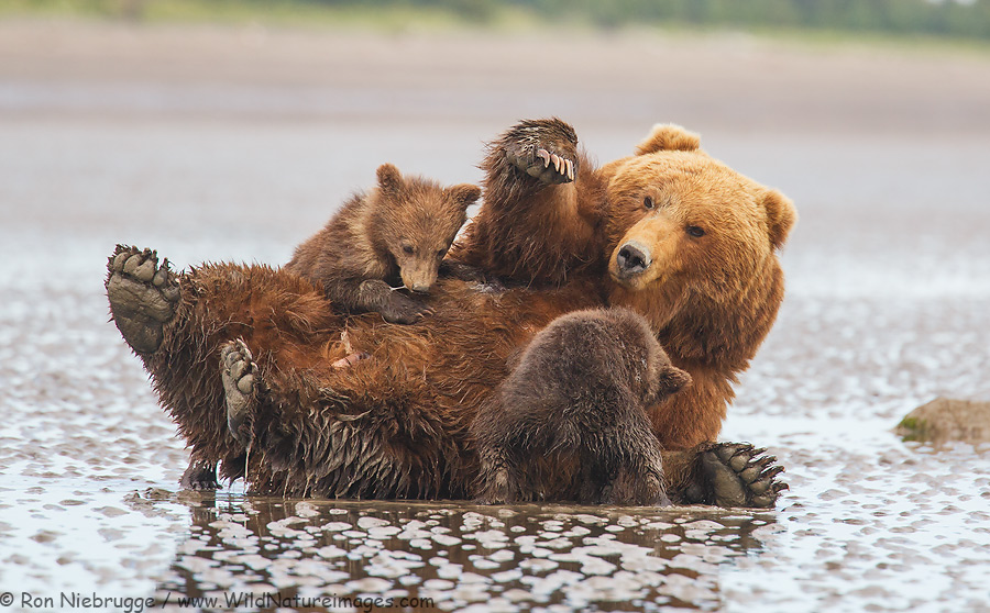 Nursing Brown Bears from last year's Alaska Bear Photo Tour.