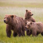 Brown Bear Family