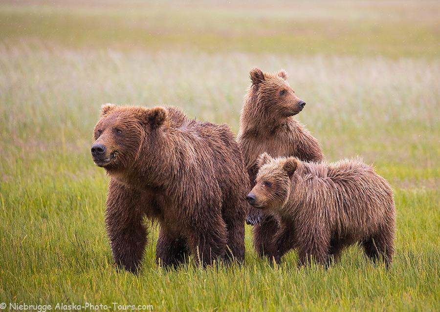 Brown bear family, Alaska.