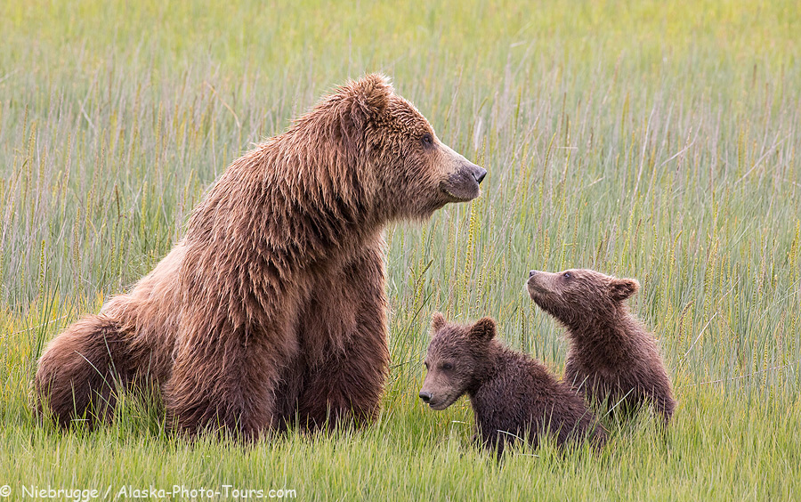 A sow with two spring cubs, Lake Clark National Park, Alaska.