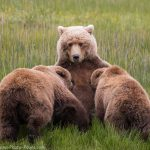 Grizzly Bear Nursing
