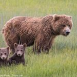 Spring Brown Bear Cubs