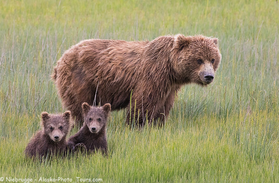 Sow with spring brown bear cubs, Lake Clark National Park, Alaska.