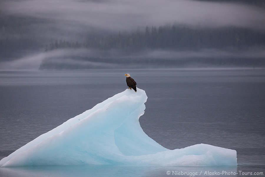 A bald eagle on an iceberg in Endicott Arm, Tongass National Forest, Alaska.