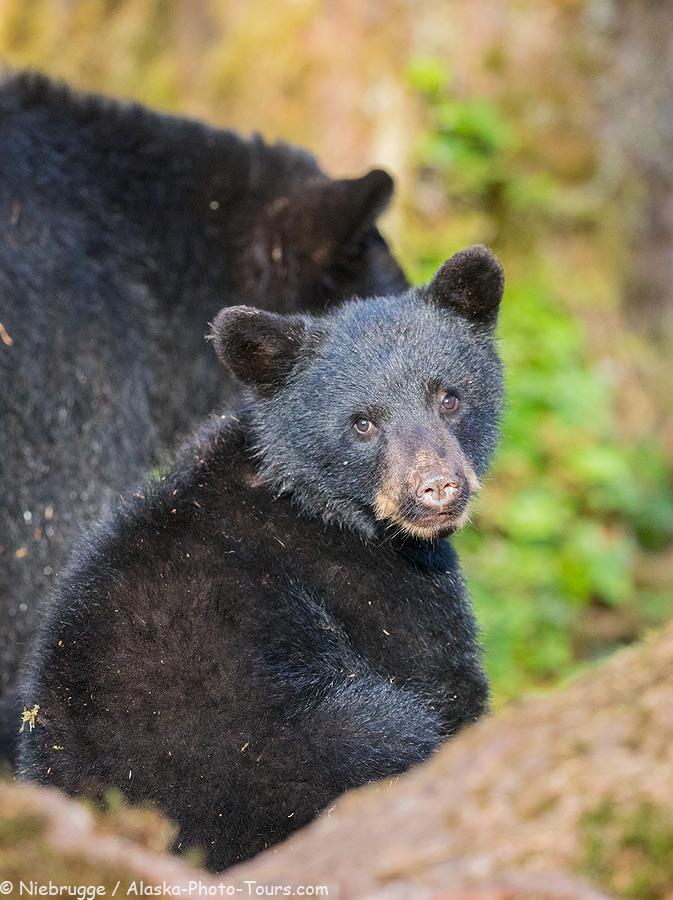 Black bear cub, Anan Creek, Tongass National Forest, Alaska.