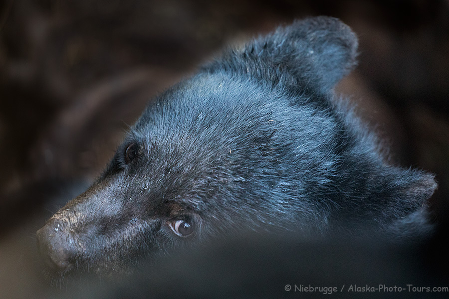 Black bear cub looking out a hole in a tree stump, Anan Creek, Tongass National Forest, Alaska.
