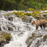 Tongass Brown Bears
