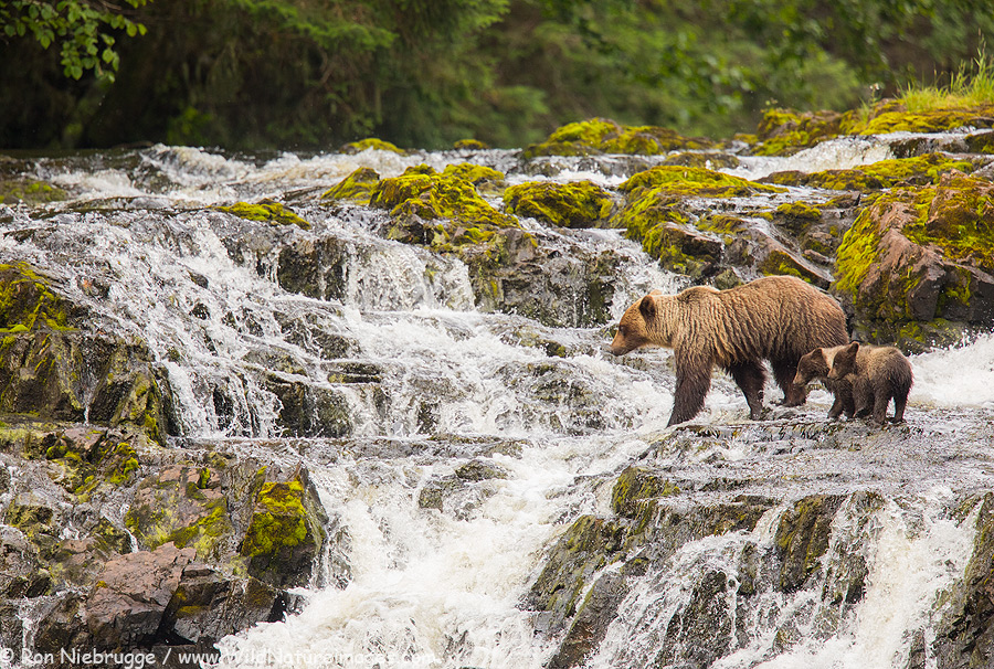 A brown bear family on Chichagof Island last week, Tongass National Forest, Alaska.