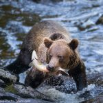 Anan Brown Bear