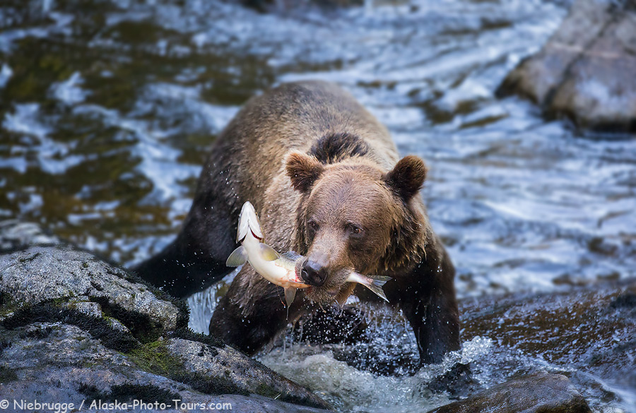 Brown bear with a salmon at Anan Creek, Tongass National Forest, Alaska.