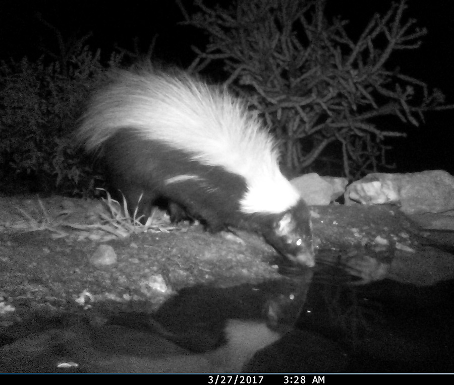 Hooded skunk, Usually a nightly visitor.
