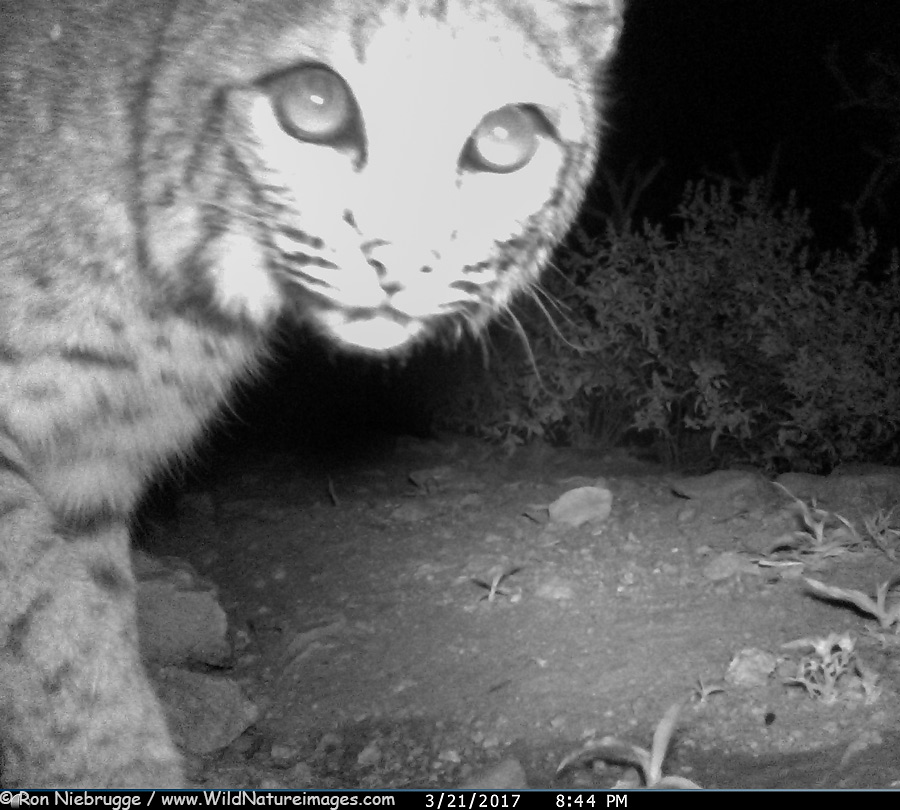 A bobcat, a very infrequent visitor to the water hole.