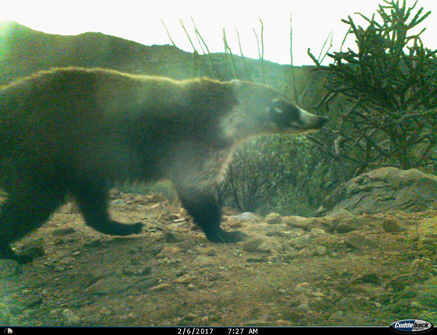 Coatimundi. Was a daily visitor for about a month, then didn't see him.