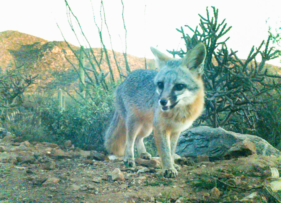 Gray fox. We had a pair that were nightly visitors to the water hole, and often seen during the day as well.